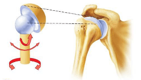 ball and socket joint – applecool, Human body