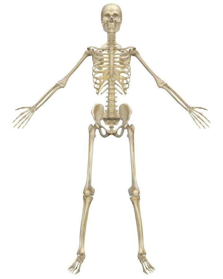 quizizz question set - skeletal system, Skeleton