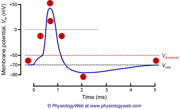 the steps involved in an action potential