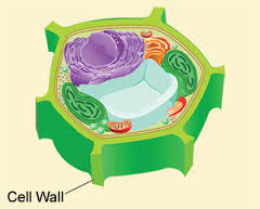 Why do animal cells not have a cell wall?