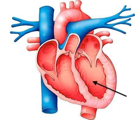 blood vessels and the heart - quiz questions, Human Body