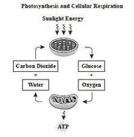 Photosynthesis cellular respiration quiz quizizz the diagram shows the relationship between photosynthesis and cellular respiration and the organelles in which they occur ccuart Gallery