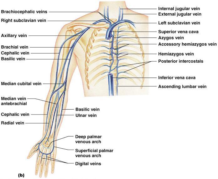 quizizz question set - ch.19:cardiovascular system - blood vessels, Cephalic Vein