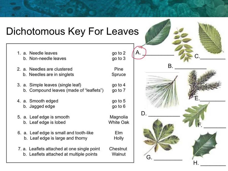 Leaf Dichotomous Key Worksheet Pixelpaperskin – Dichotomous Key Worksheet