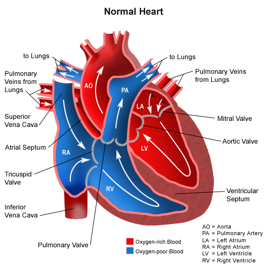 blood flow through the heart - quiz questions, Muscles