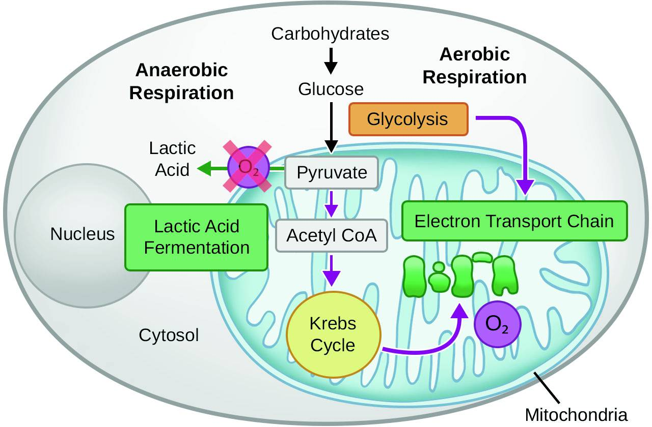 Topic 3 6 - Cellular Respiration