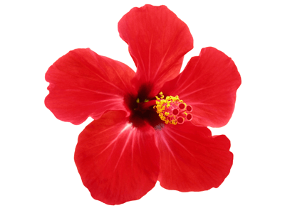 Bunga Kebangsaan Other Quiz Quizizz