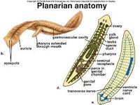 phylum platyhelminthes fonálférgek és annelida)