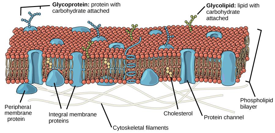 Plasma Membrane   Cell Structure Quiz - Quizizz