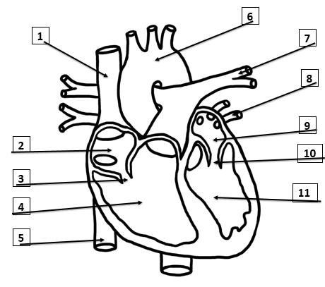 Heart Diagram Quiz Review | Biology Quiz - Quizizz