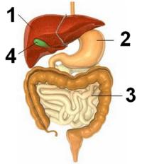 Sistem Pencernaan | Digestive System Quiz - Quizizz