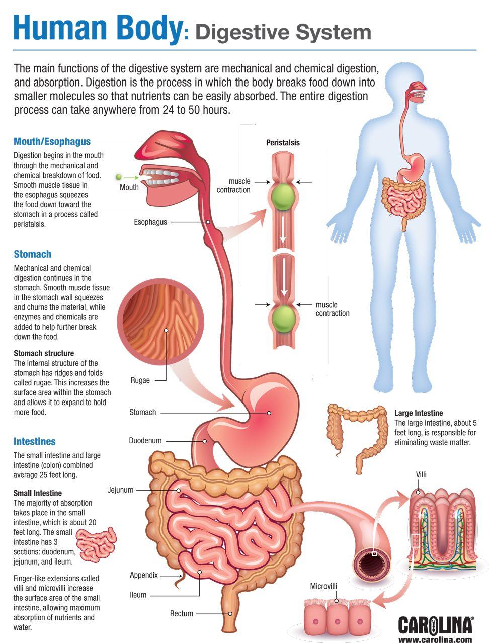 Human Body: Digestive System | Human Anatomy Quiz - Quizizz