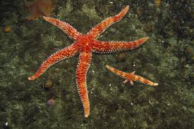 Fragmentation asexual reproduction in starfish media
