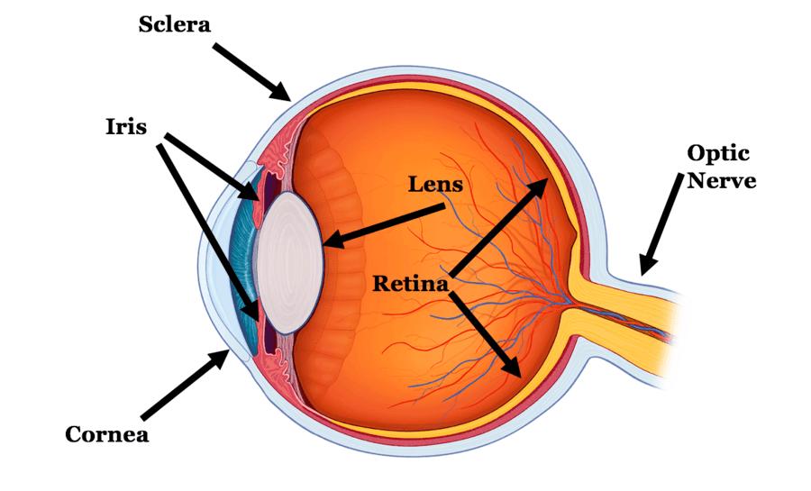 Eye Anatomy   Human Anatomy Quiz - Quizizz