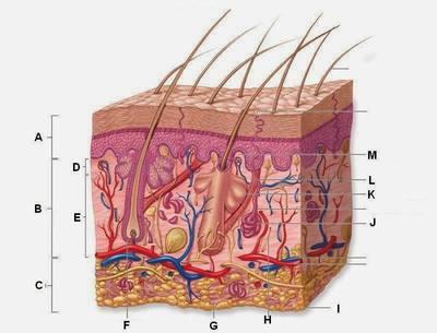 Accessory Structures of the Skin Quiz Quiz - Quizizz